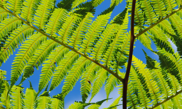 Cyathea arborea (L.) Sm.