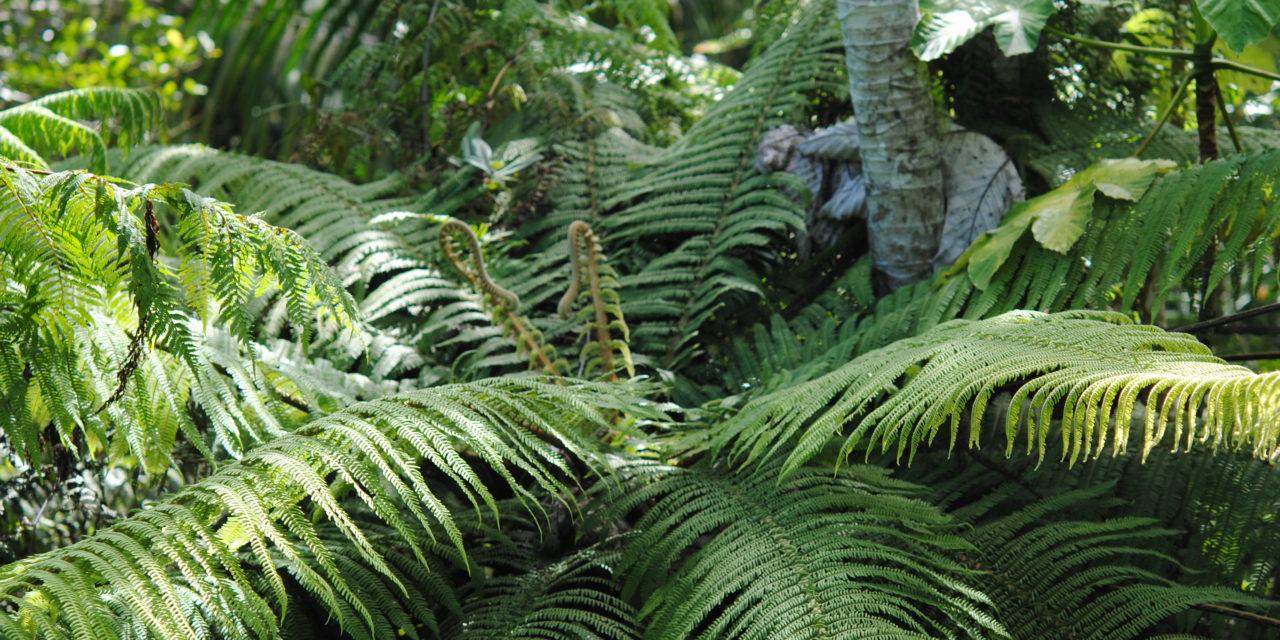 Cyathea bryophila