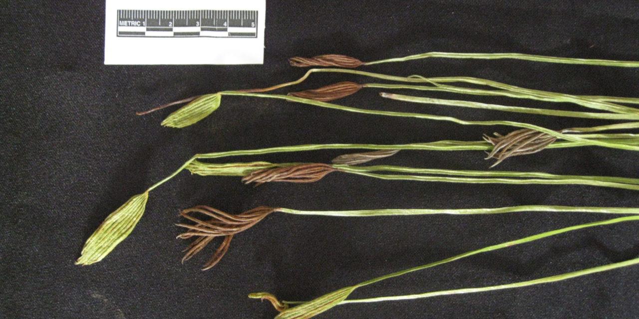 Actinostachys pennula