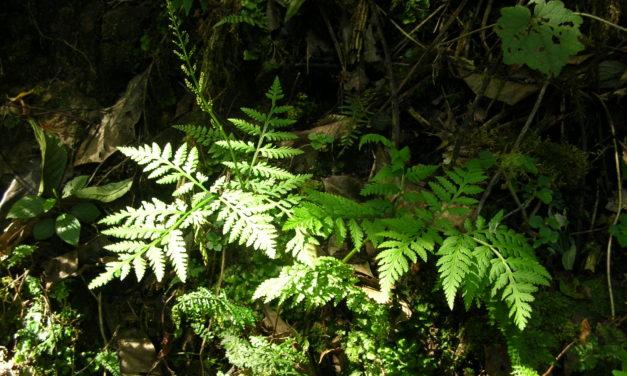 Botrypus virginianus