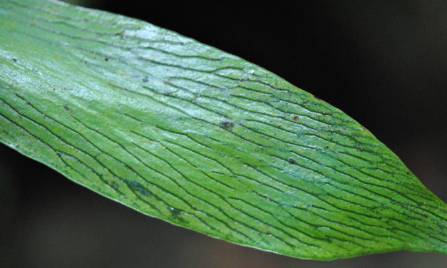 Antrophyum reticulatum