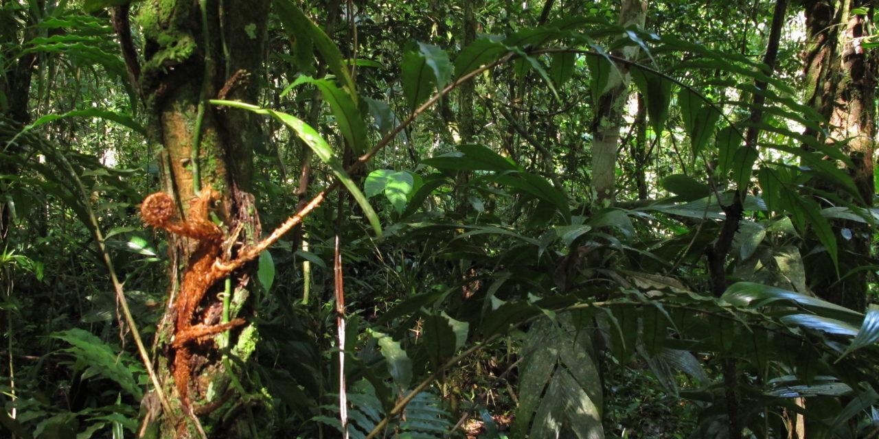 Lomariopsis marginata