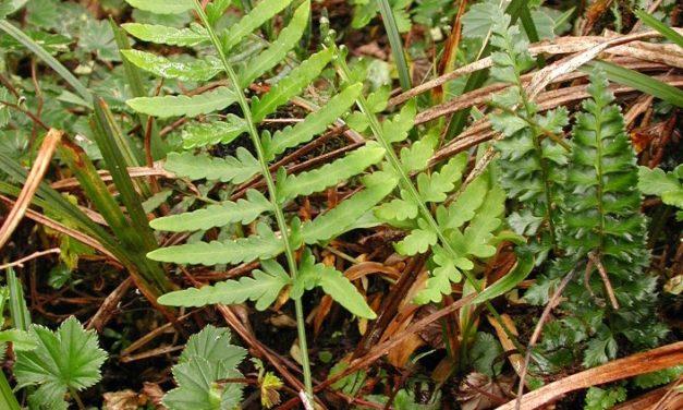 Pleopeltis murorum