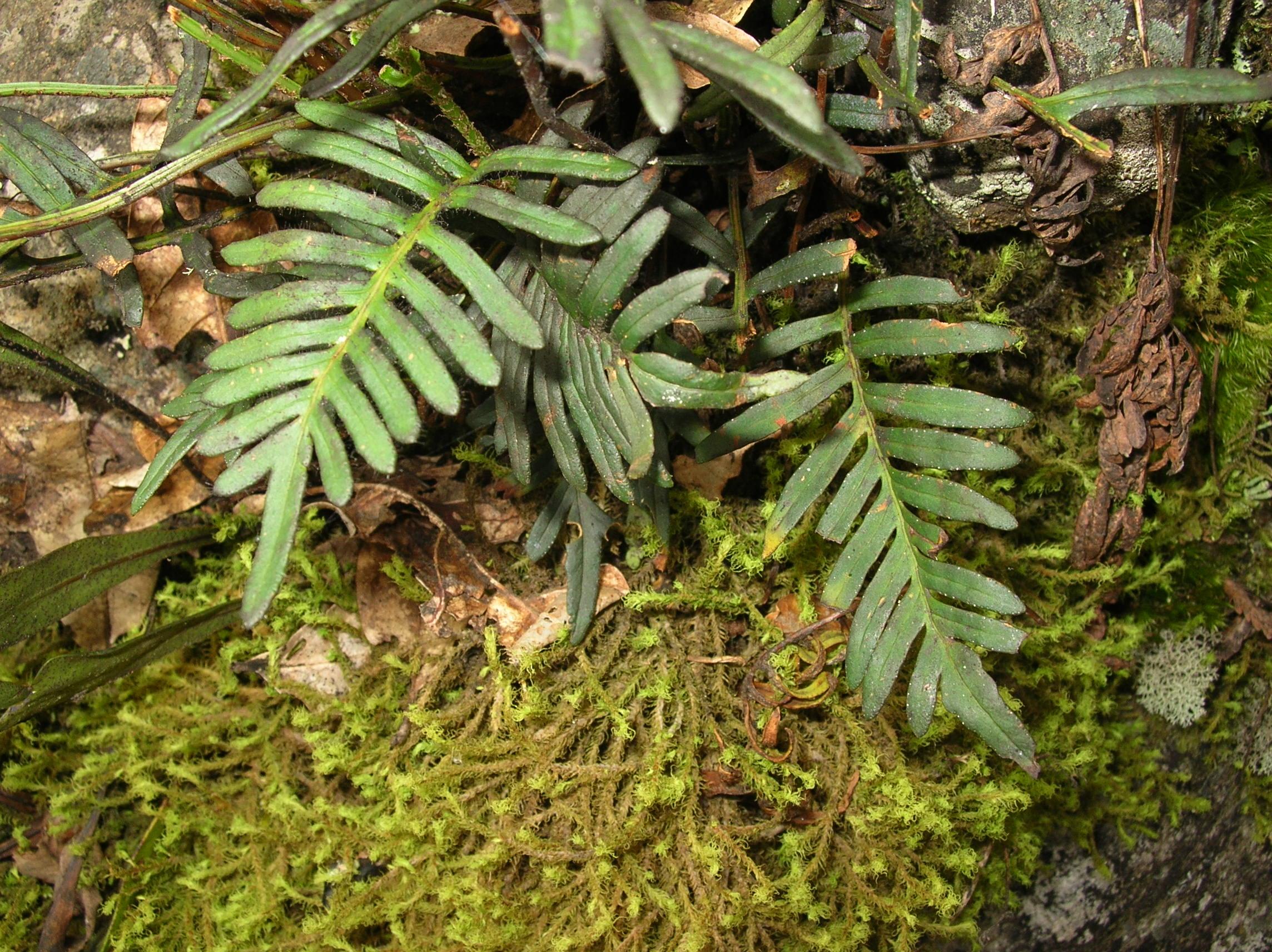 Pleopeltis orientalis