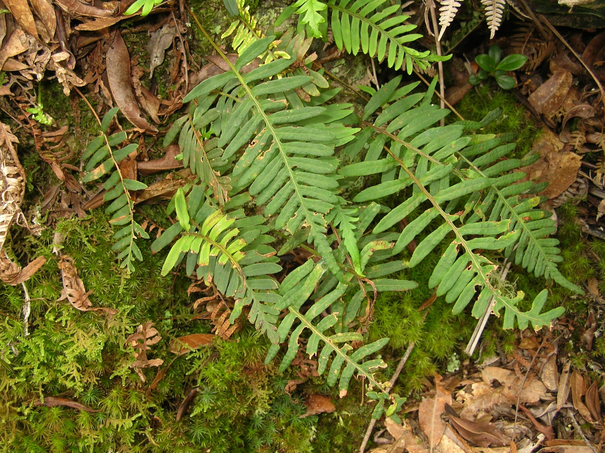 Pleopeltis buchtienii