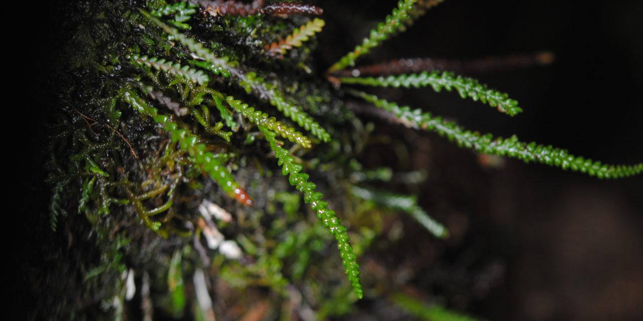 Xiphopterella coriacea