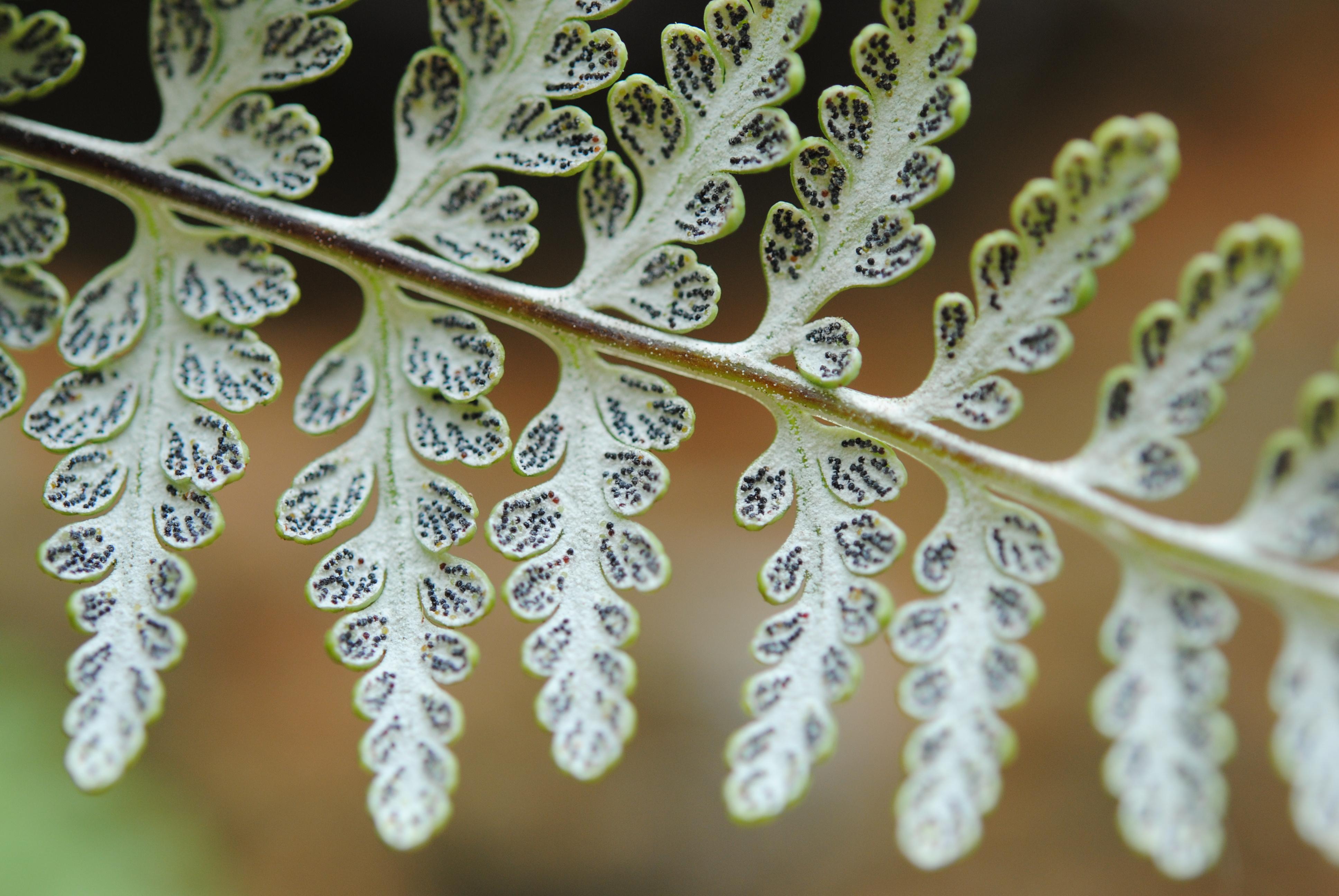 Pitryogramma chrysophylla var. gabrielae