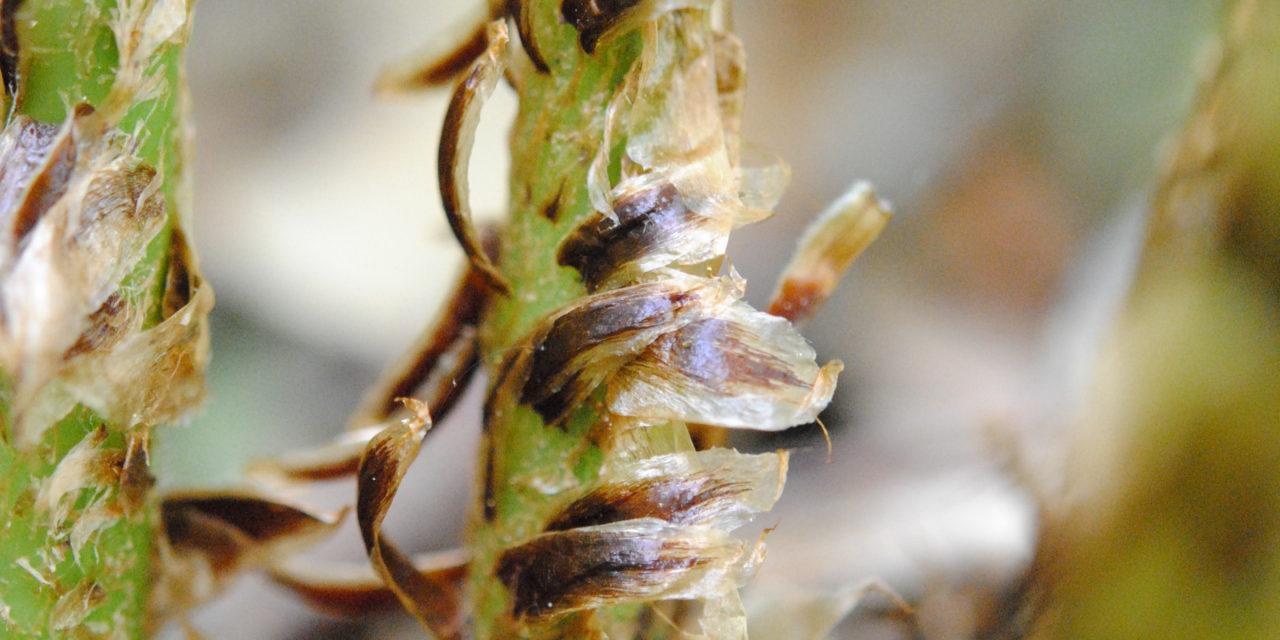 Dryopteris ×neowherryi