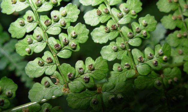 Dryopteris emeiensis