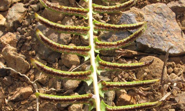 Blechnum australe subsp. auriculatum