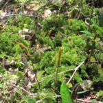 Trichomanes spruceanum