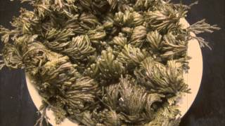Pteridology – Selaginella lepidophylla