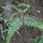 Diplopterygium bancroftii Sundue 3019 3 (Diplopterygium bancroftii)