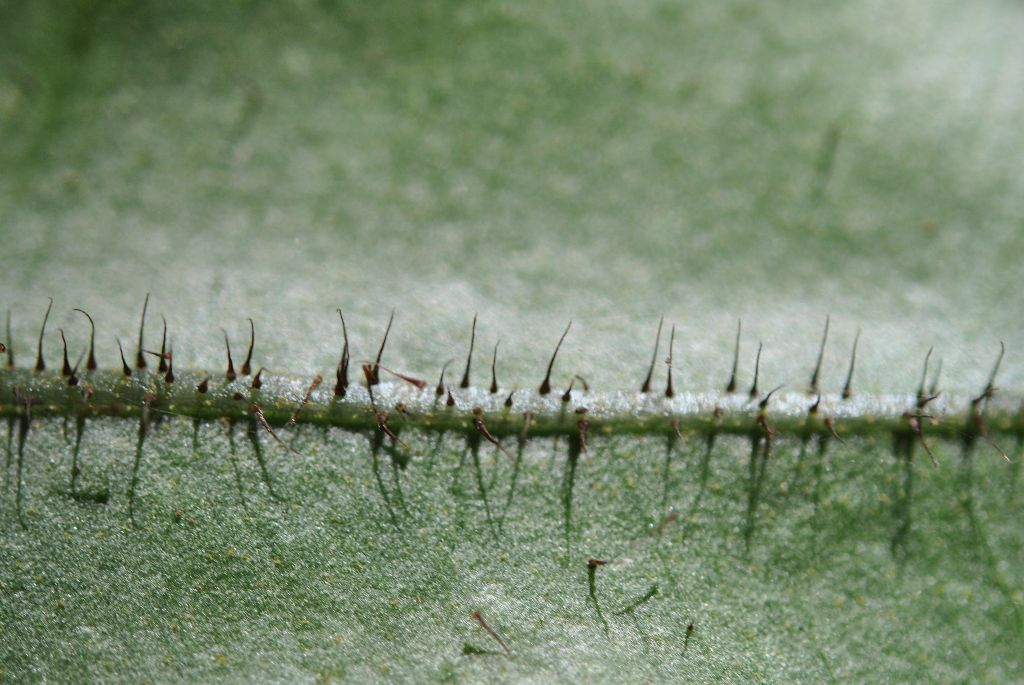 Elaphoglossum erinaceum