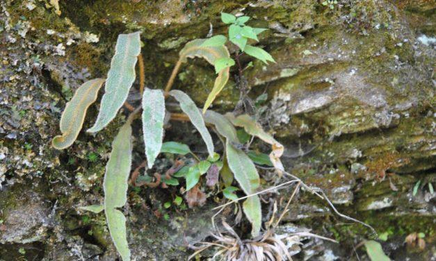 Elaphoglossum paleaceum