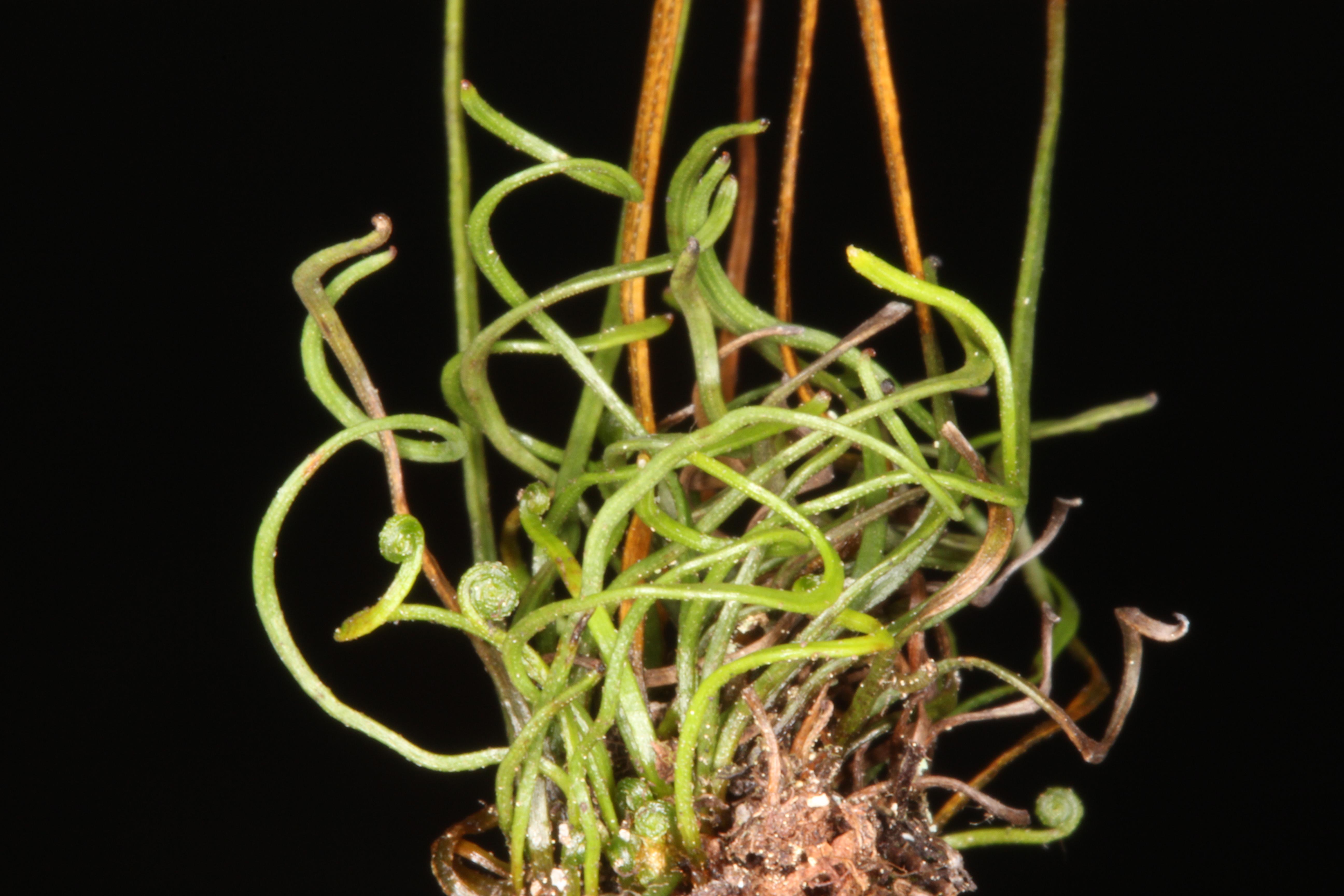 Schizaea pusilla