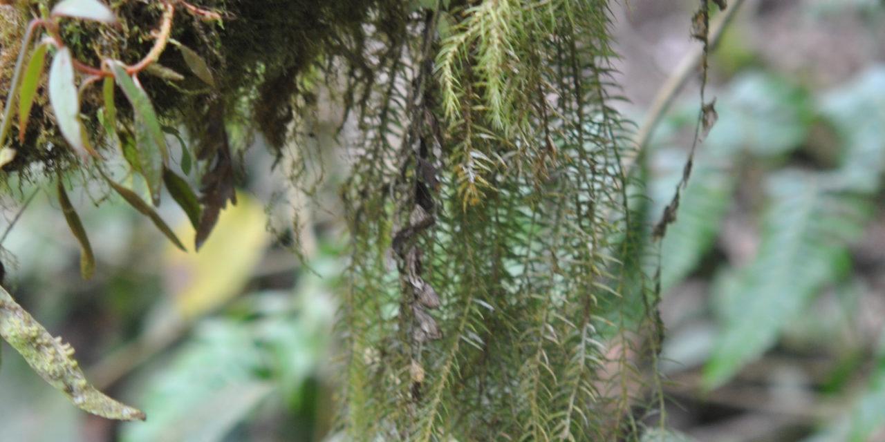 Phlegmariurus linifolius var. tenuifolius