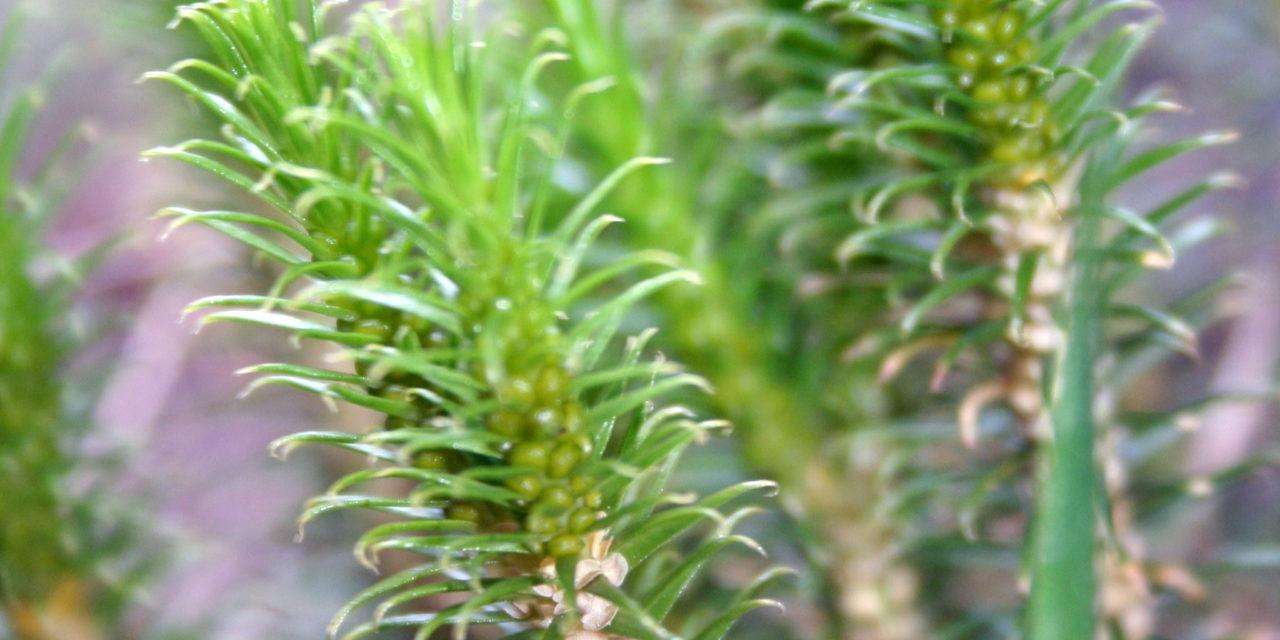 Phlegmariurus recurvifolius