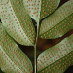 Phanerophlebia juglandifolia