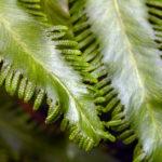 Lygodium volubile