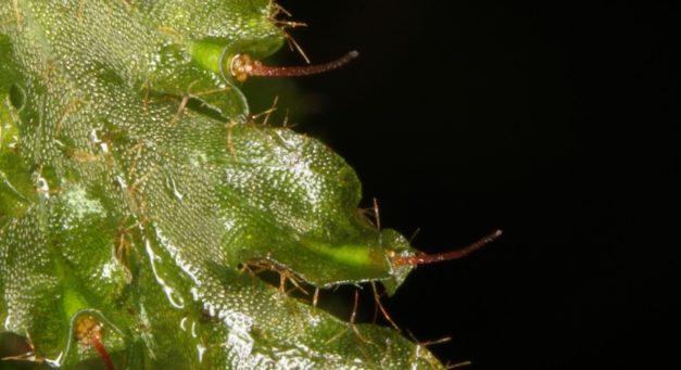 Trichomanes polypodioides