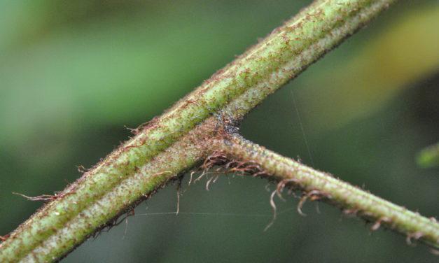 Saccoloma sunduei