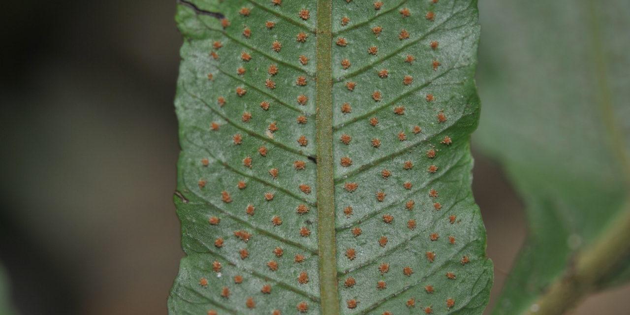 Stigmatopteris bulbifera