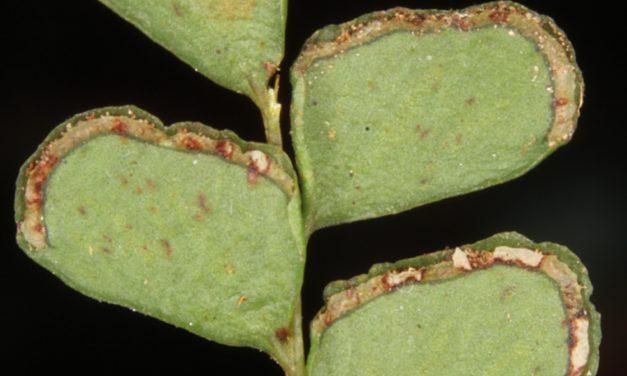 Lindsaea ovoidea