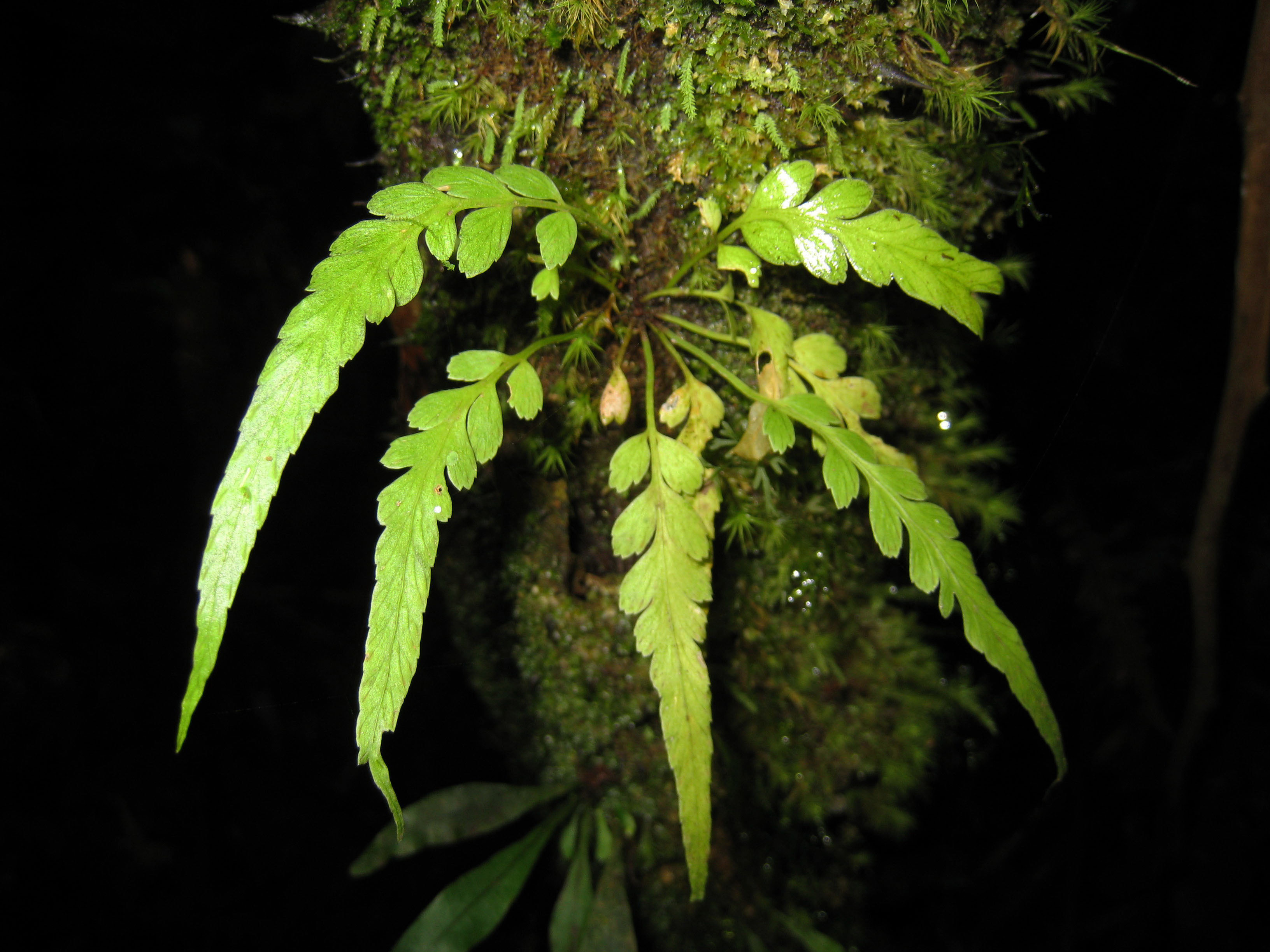 Asplenium truncorum