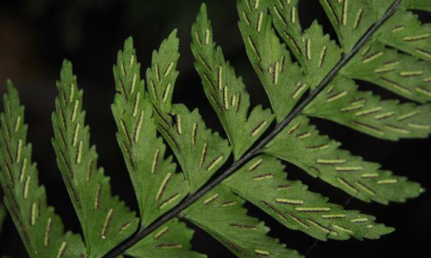 Hymenasplenium laetum