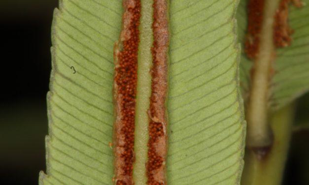 Telmatoblechnum serrulatum