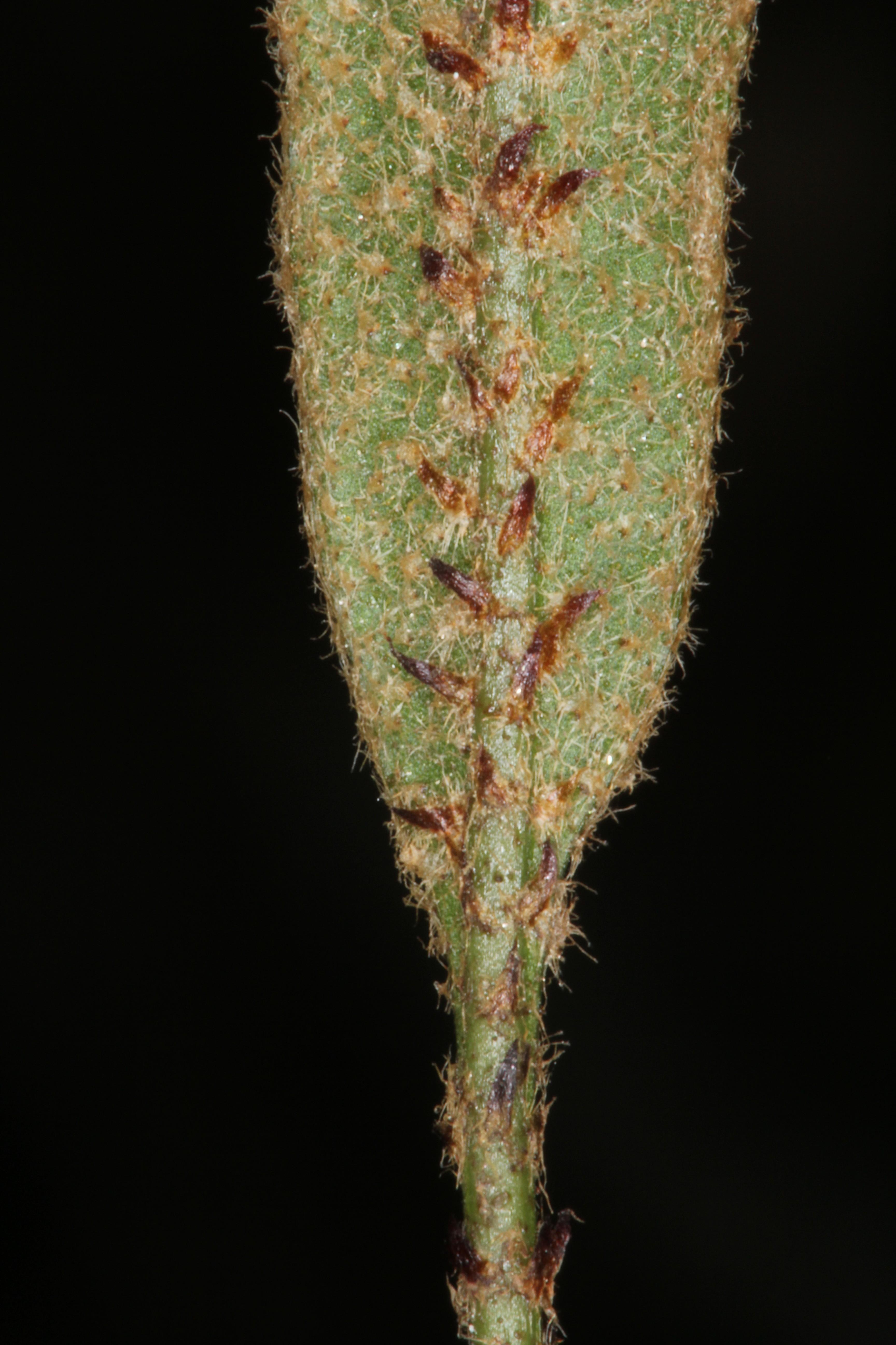 Elaphoglossum viscidum