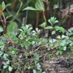 Elaphoglossum peltatum fo. flabellulatum