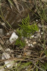 Pellaea cymbiformis