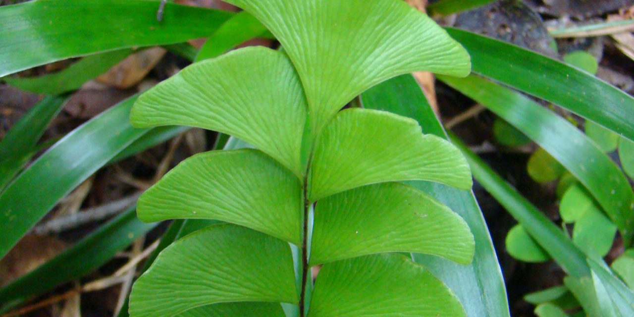 Lindsaea schomburgkii