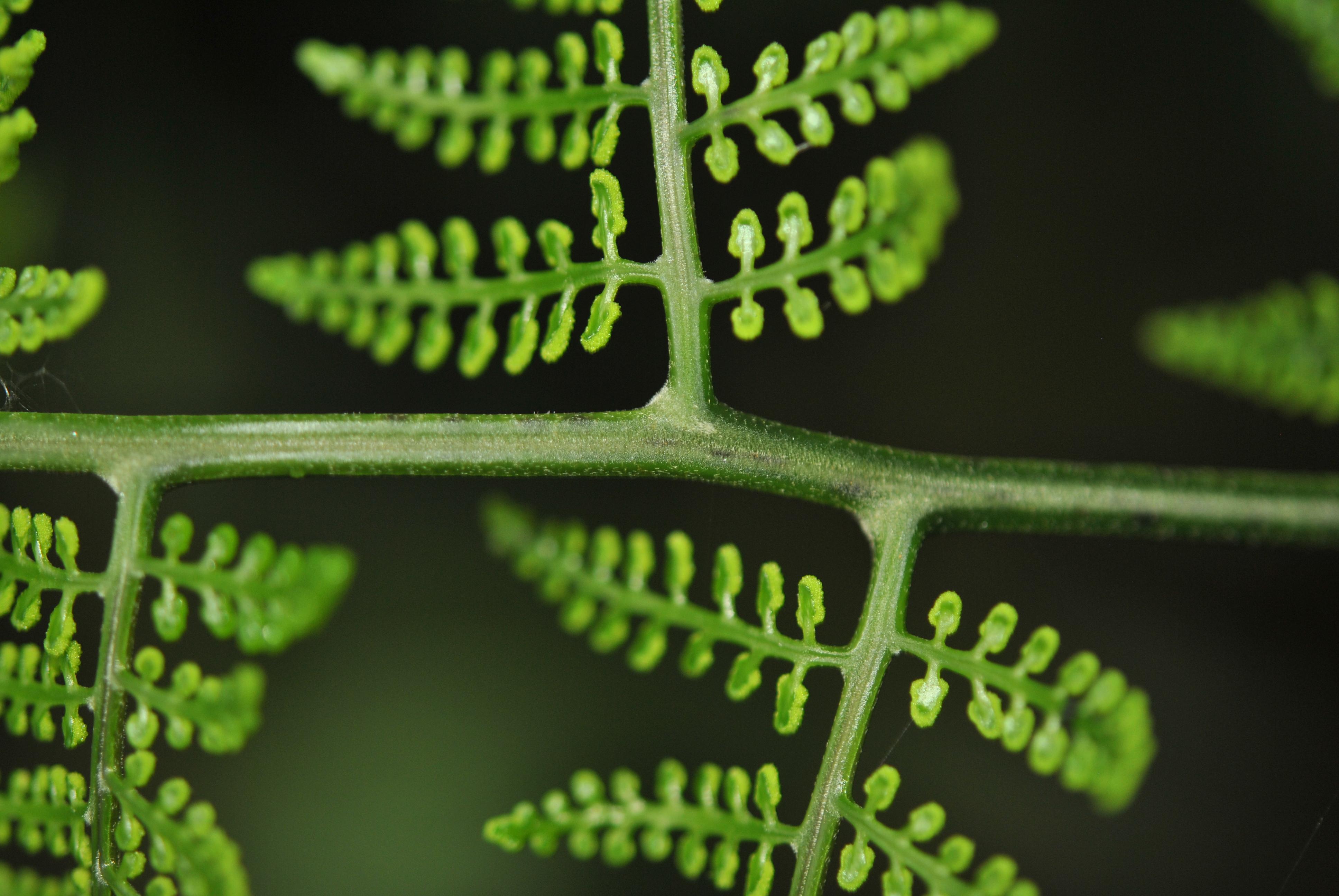 Polybotrya altescandens