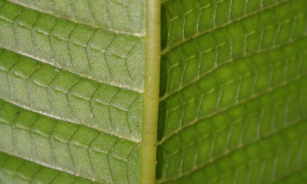 Meniscium macrophyllum