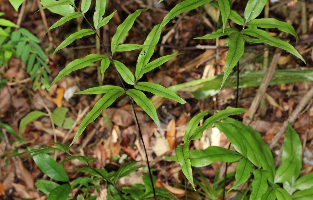 Pteris denticulata
