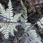 Notholaena sulphurea RTC17150_1