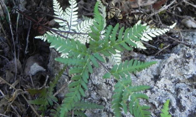 Notholaena sulphurea