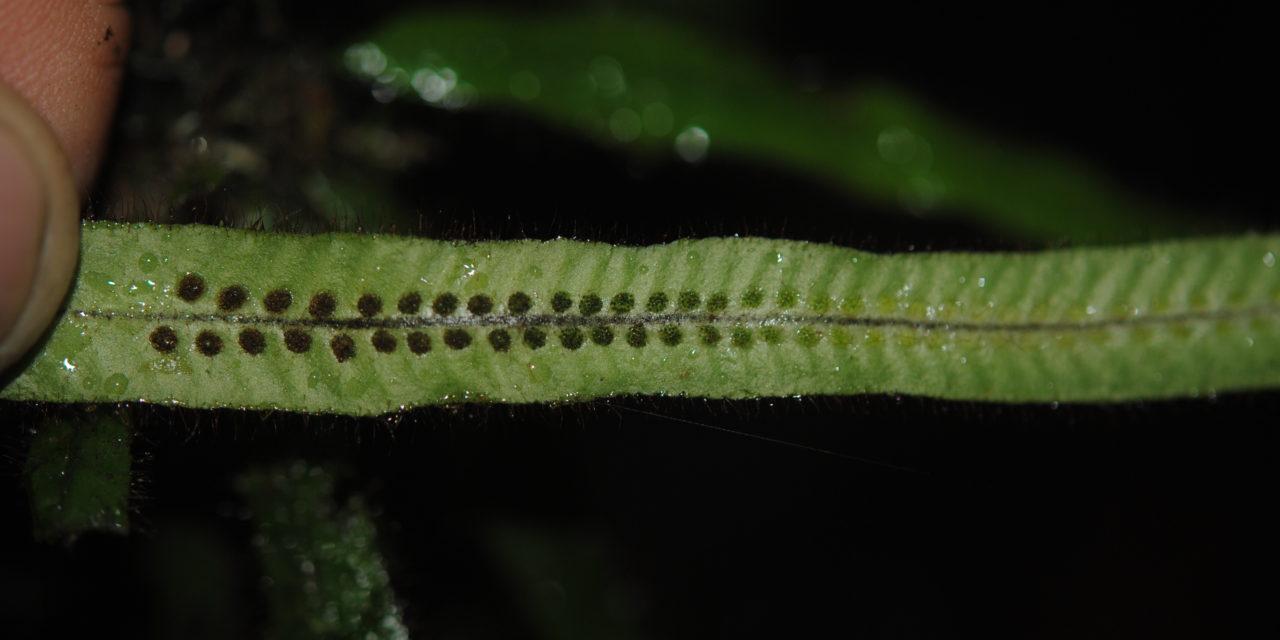 Oreogrammitis reinwardtioides