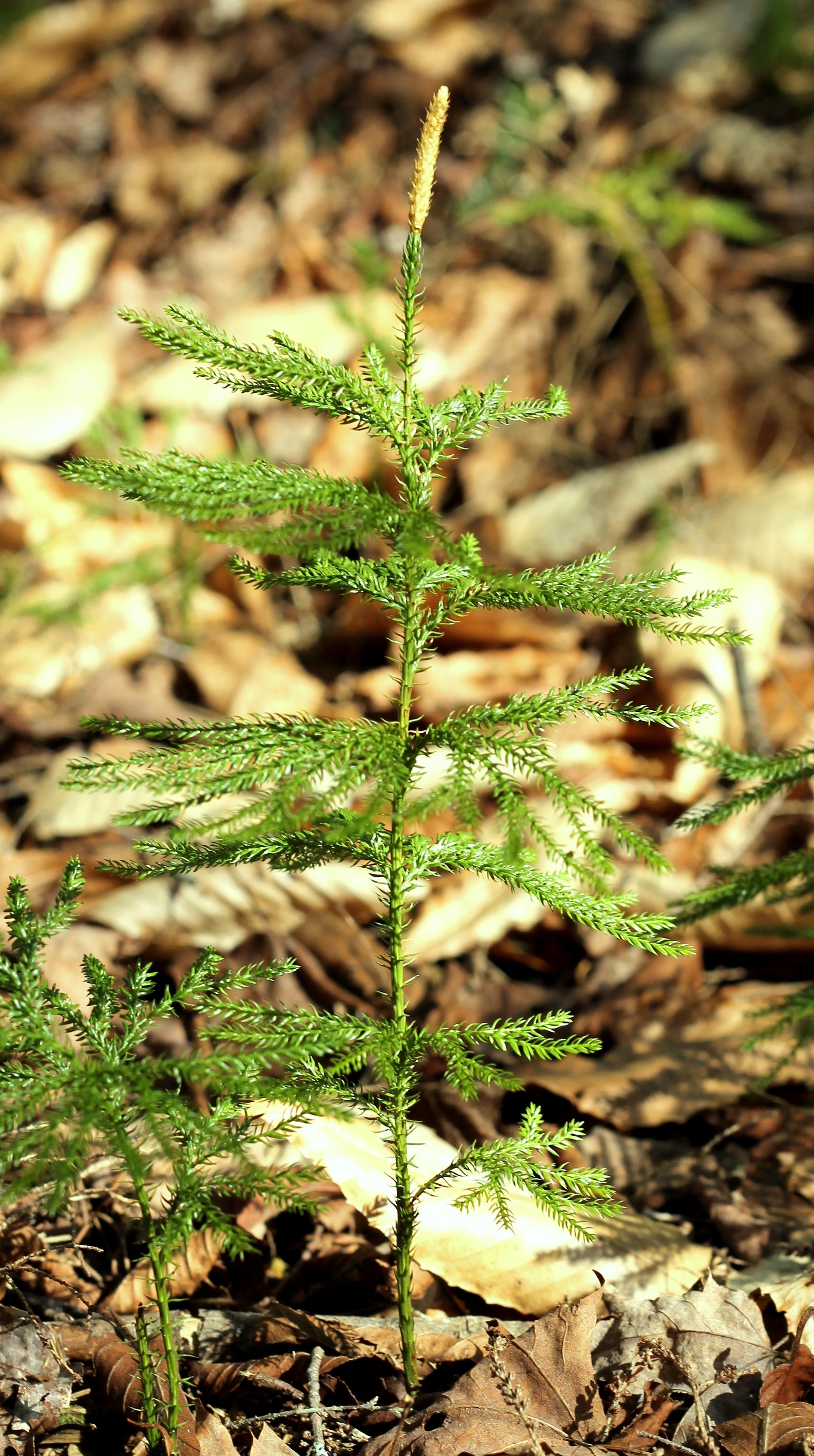 Dendrolycopodium dendroideum