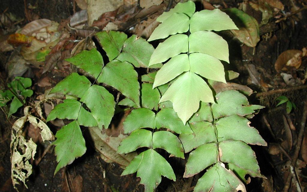 Adiantum macrophyllum