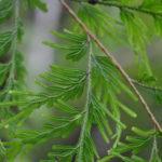Selaginella involvens Sundue 3159 (Selaginella involvens)