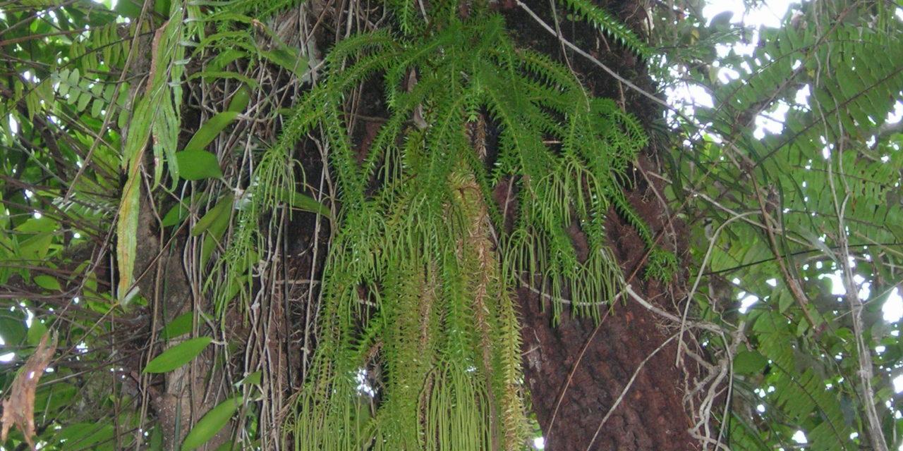 Phlegmariurus phlegmaria
