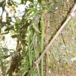 Phlegmariurus filiformis
