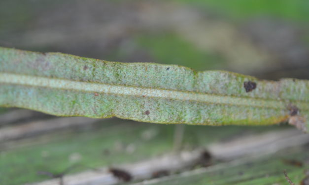 Elaphoglossum heterolepium