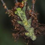 Dryopteris nodosa