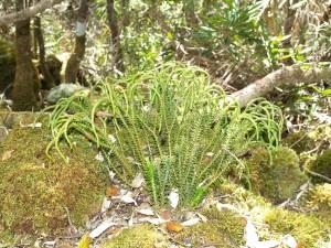 Phlegmariurus varius