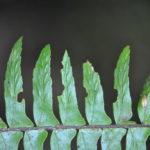 Asplenium pellucidum